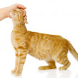 Female hand patting cat.  — Stock Photo