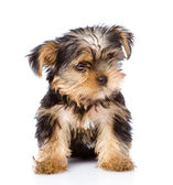 Yorkshire Terrier puppy sitting in front. — Stock Photo
