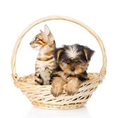 Purebred bengal kitten and Yorkshire Terrier puppy sitting in basket — 图库照片