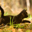 Black cat walking on autumn grass — Stock Photo