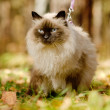 Siamese cat on a leash — Stock Photo