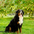 Bernese mountain dog  in nature — Stock Photo