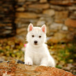Siberian Husky puppy outdoor — Stock Photo