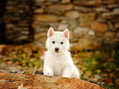 Siberian Husky puppy outdoor — Foto Stock