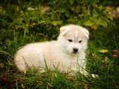 Siberian Husky puppy on grass — Stock Photo