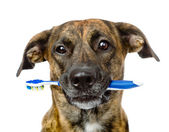Mixed breed dog with a toothbrush — Stock Photo
