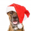 Large dog in red christmas Santa hat. — Stock Photo #34256037