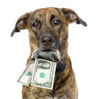 Dog holding a purse with dollars in its mouth. — Stock Photo