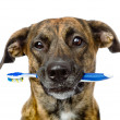 Stock Photo: Mixed breed dog with a toothbrush.