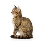 Fluffy gray beautiful kitten in profile — Stock Photo