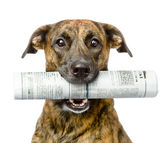 Dog carrying newspaper. isolated on white background — Stock Photo