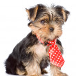 Yorkshire Terrier puppy with tie — Stock Photo