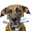 Stock Photo: Mixed breed dog with a toothbrush and toothpaste.