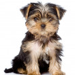 Yorkshire Terrier puppy sitting in front. — Stock Photo #34712633