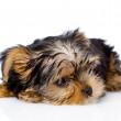 Tired Yorkshire Terrier puppy. — Stock Photo