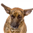 Mixed breed dog with long flapping ears. — Stock Photo