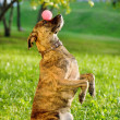 Mixed breed dog balancing ball on nose — 图库照片