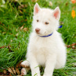 Siberian Husky puppy sitting on grass — Stock Photo