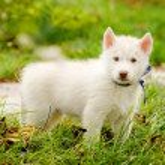 Siberian Husky puppy on grass — Stock Photo
