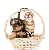 Purebred Bengal kitten and Yorkshire Terrier puppy — Stock Photo