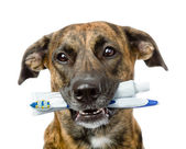 Mixed breed dog with a toothbrush and toothpaste. — Stock Photo