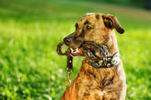 Mixed breed dog with a leash in his mouth — Stock Photo