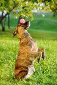 Gemengd rashond balancing bal op neus — Stockfoto