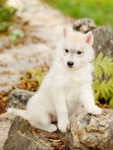 White Siberian Husky puppy outdoor — Stockfoto