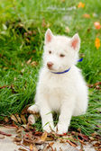 Siberian Husky puppy sitting on grass — ストック写真