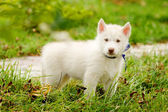 Siberian Husky puppy on grass — Stockfoto