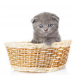 Little british shorthair kitten sitting in basket. — Stock Photo