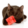 Cat with a red box.  — Stock Photo
