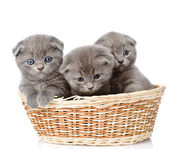 Group british shorthair kittens in basket. — Stock Photo