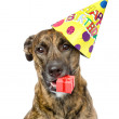 Birthday dog with a red box.   — Stock Photo