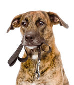 Mixed breed dog with a leash in his mouth. — Stock Photo