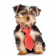 Yorkshire Terrier puppy with tie sitting in front. — Stock Photo #35595863