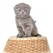 Little british shorthair kitten sitting on a basket. — Stock Photo