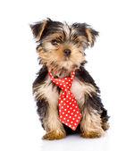 Cucciolo di yorkshire terrier con cravatta seduto di fronte. — Foto Stock
