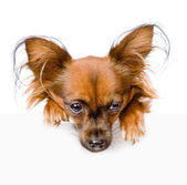 Russian toy terrier above white banner looking down. — Stock Photo