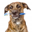 Mixed breed dog with a toothbrush. — Foto de Stock