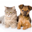 Mixed breed puppy and cat together. — Stockfoto