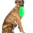 Mixed breed dog holding a frisbee. — Stock Photo #36003339