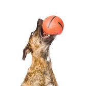 Dog catching a ball. — Stock Photo