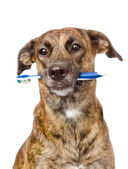Mixed breed dog with a toothbrush. — Stok fotoğraf