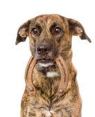 Собака Холдинг подкова в ее рот. — Стоковое фото