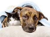Sad dog and cat lying on a pillow under a blanket. — Stock Photo