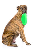Mixed breed dog holding a frisbee. — Stock Photo