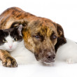 Mixed breed dog and cat lying together — Stock Photo