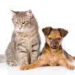 Mixed bred puppy and gray cat together. — Stock Photo
