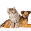 Cat and dog looking at camera.   — Stockfoto